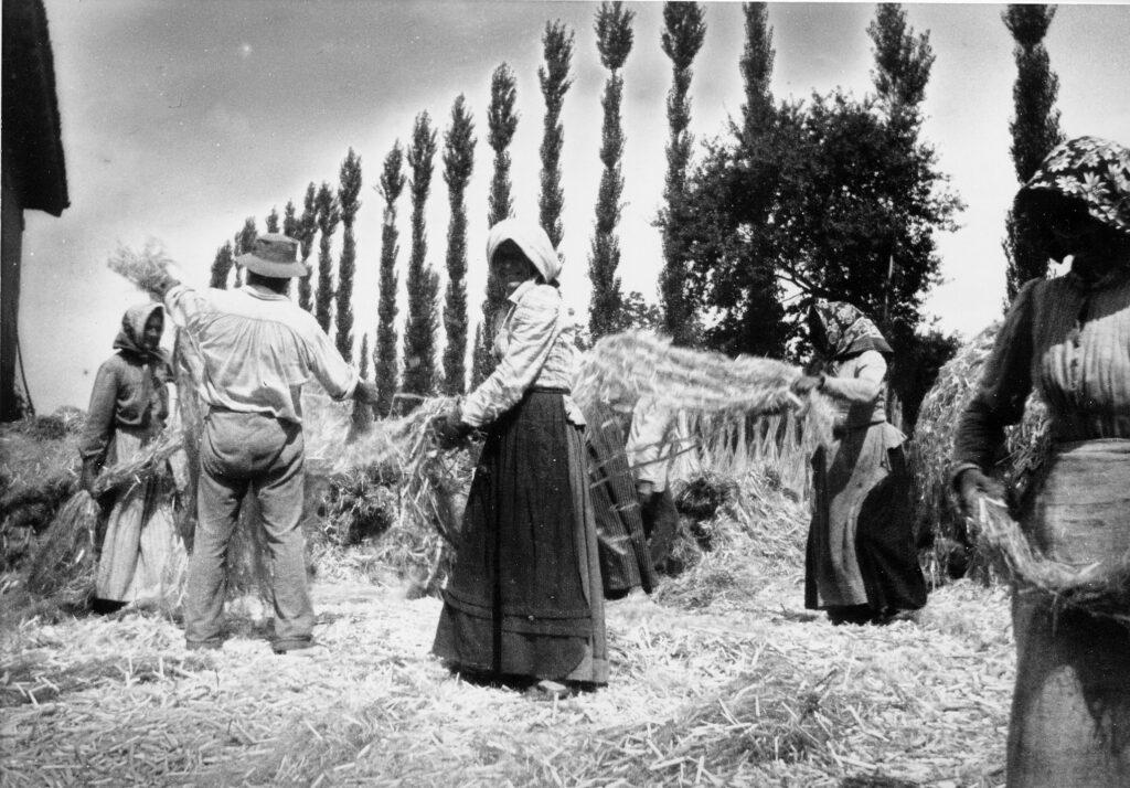 coltivazione canapa in italia anni 50
